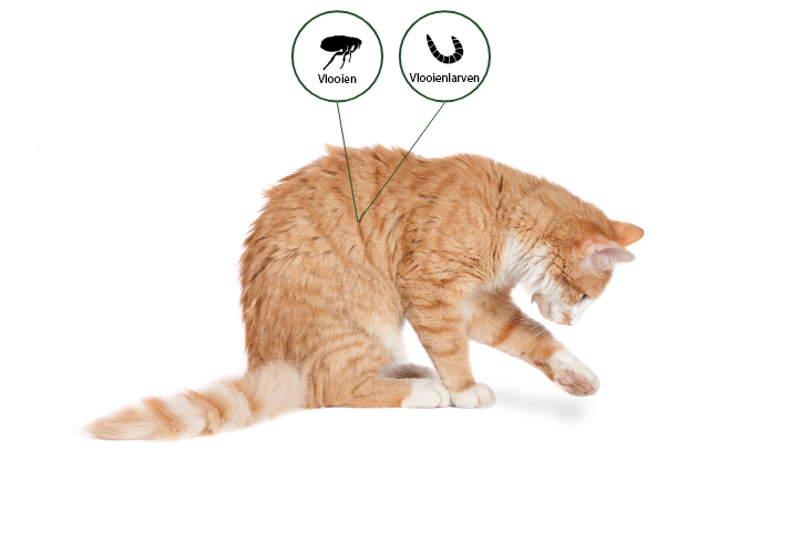 With Advantage cats are protected from fleas and flea larvae