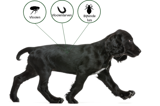 A black retriever protected from fleas, flea larvae and biting lice