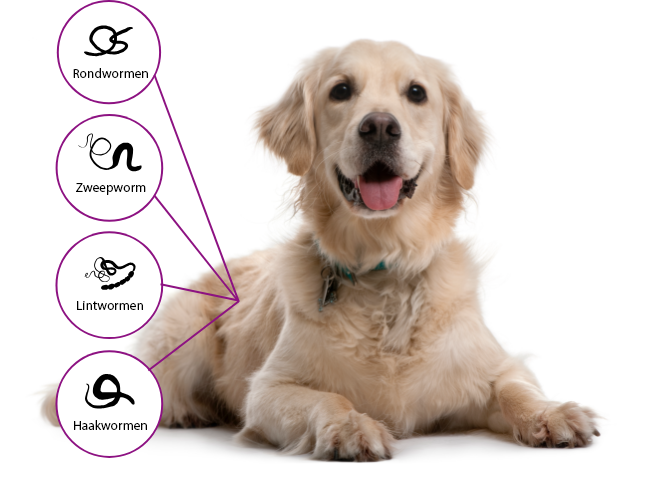 Drontal protects dogs from roundworms, whipworms, tapeworms and hookworms